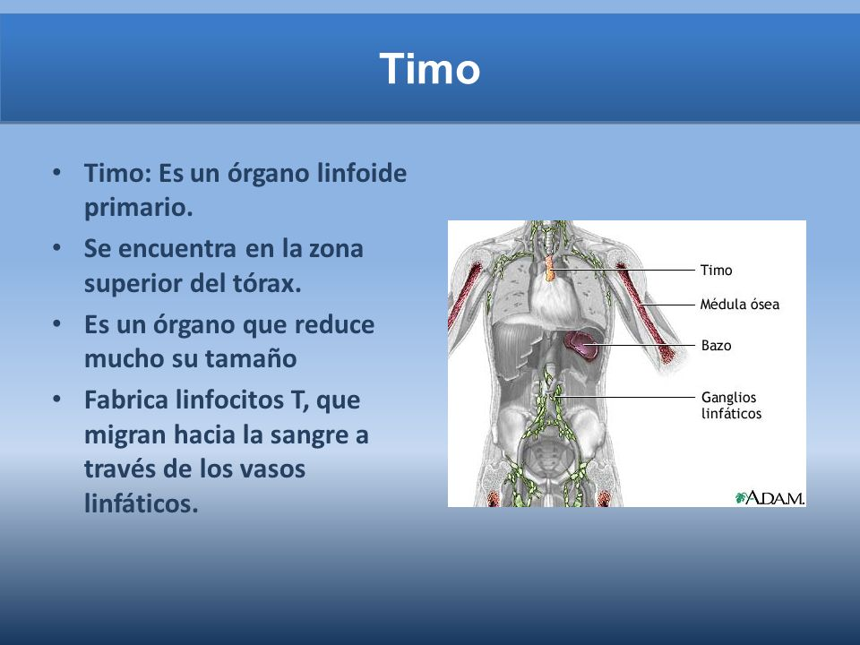 Timo Timo: Es un órgano linfoide primario.