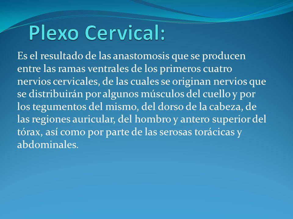 Plexo Cervical:
