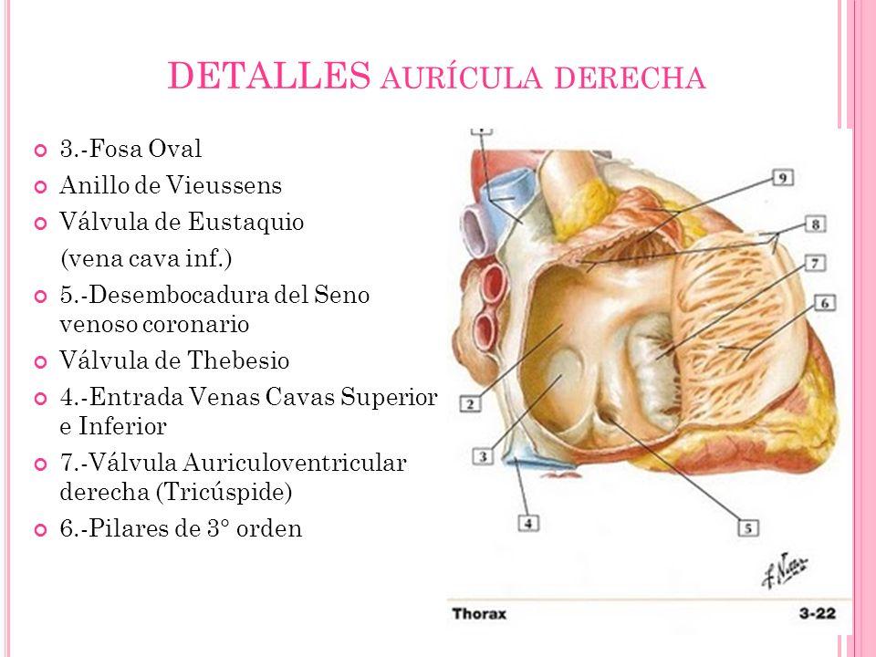 Bonito La Anatomía De La Aurícula Derecha Viñeta - Anatomía de Las ...