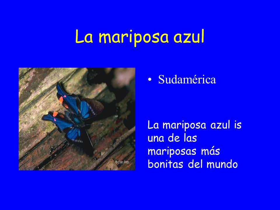 La mariposa azul Sudamérica