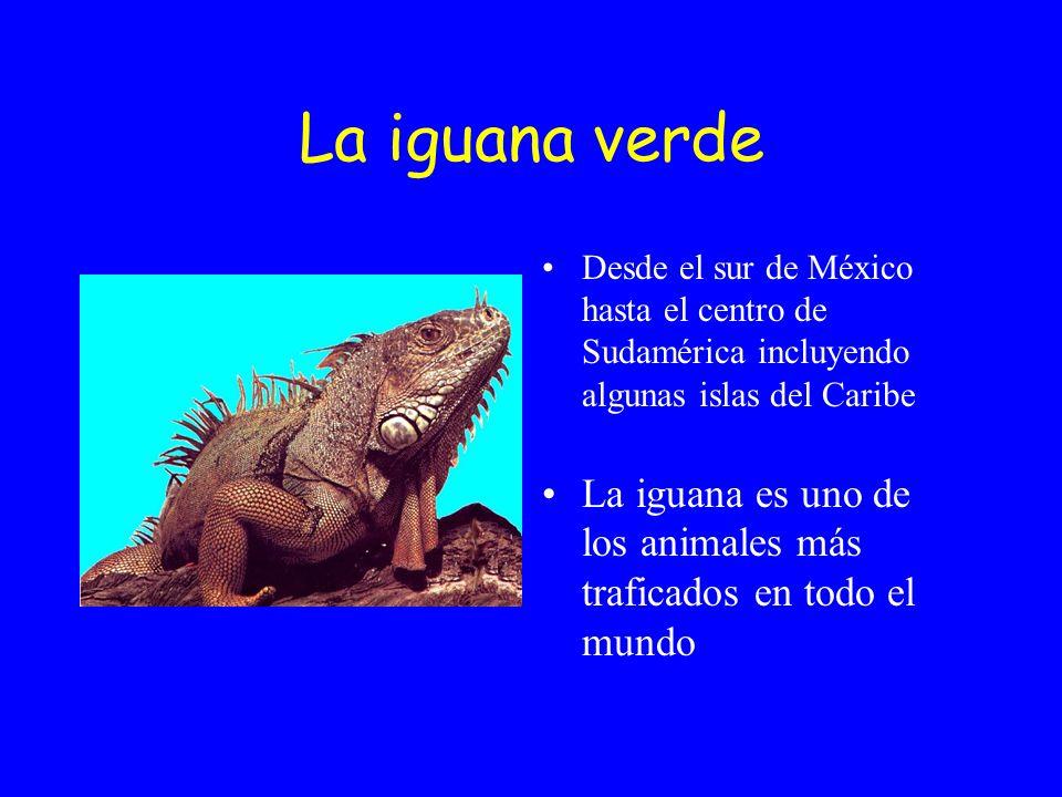 La iguana verde Desde el sur de México hasta el centro de Sudamérica incluyendo algunas islas del Caribe.