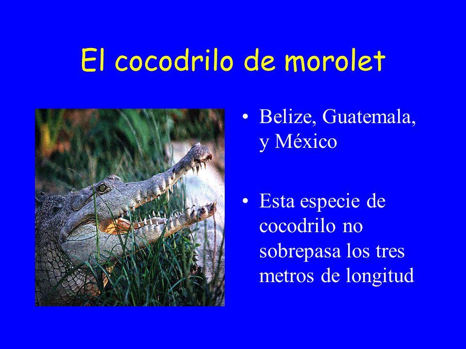 El cocodrilo de morolet