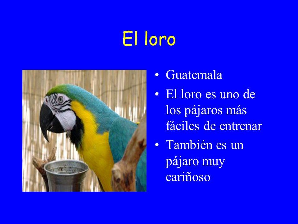 El loro Guatemala. El loro es uno de los pájaros más fáciles de entrenar.