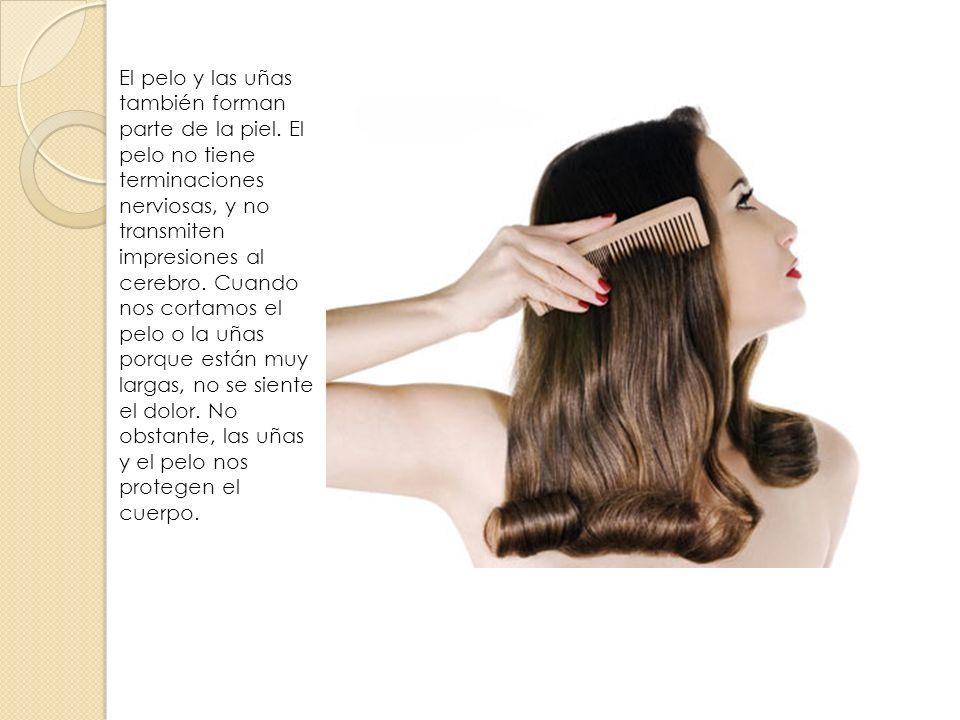 El pelo y las uñas también forman parte de la piel