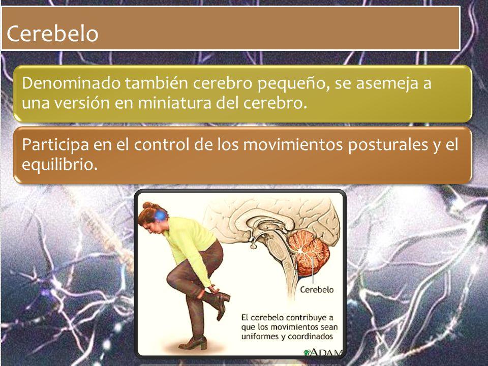 Cerebelo Denominado también cerebro pequeño, se asemeja a una versión en miniatura del cerebro.