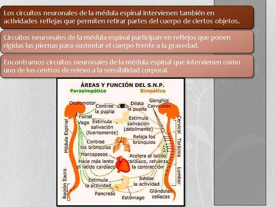 Los circuitos neuronales de la médula espinal intervienen también en actividades reflejas que permiten retirar partes del cuerpo de ciertos objetos.
