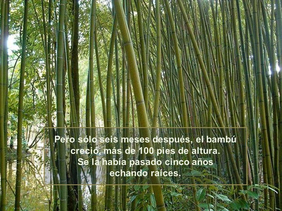 Pero sólo seis meses después, el bambú creció, más de 100 pies de altura.
