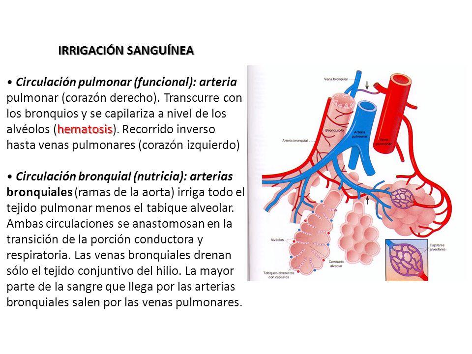 Magnífico Anatomía De La Arteria Pulmonar Fotos - Anatomía de Las ...