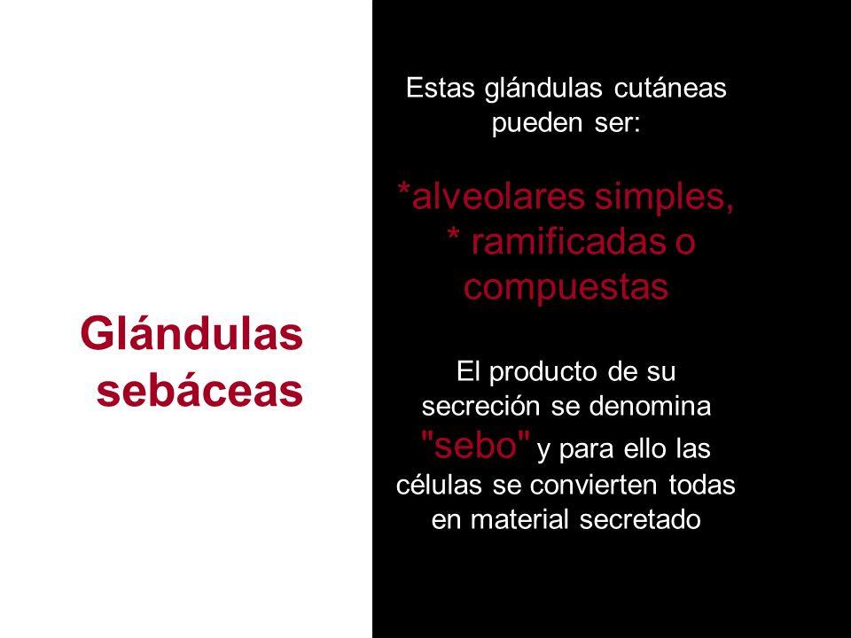 Glándulas sebáceas *alveolares simples, * ramificadas o compuestas