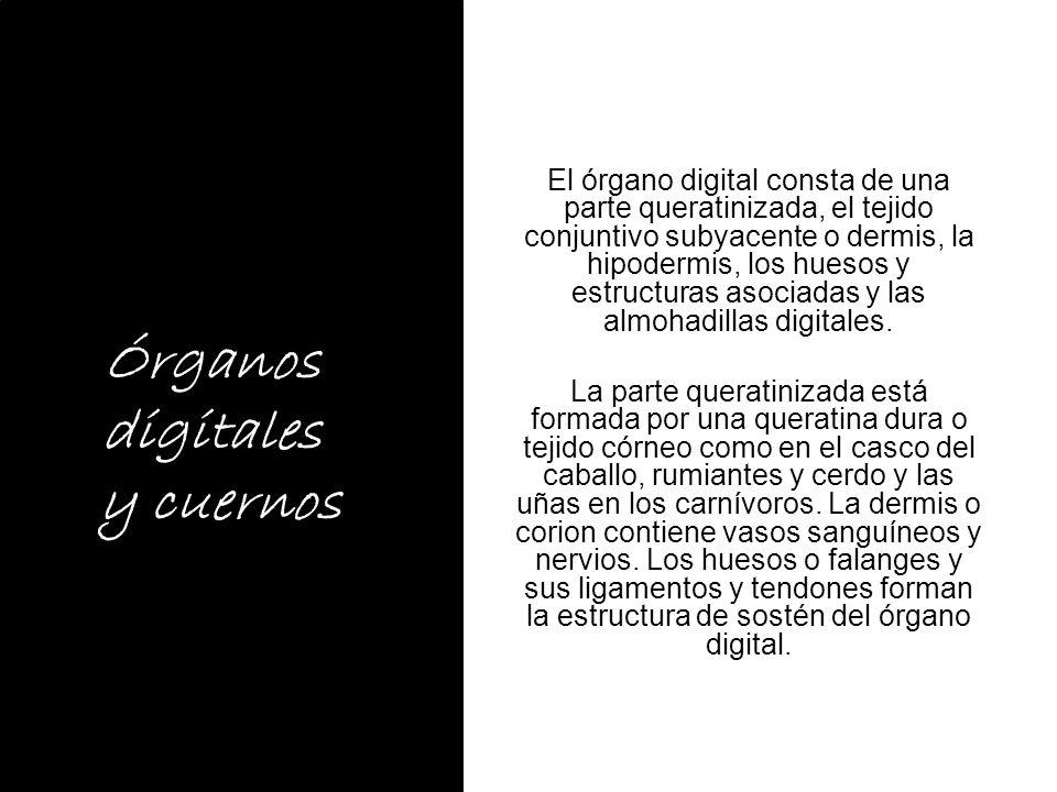 Órganos digitales y cuernos