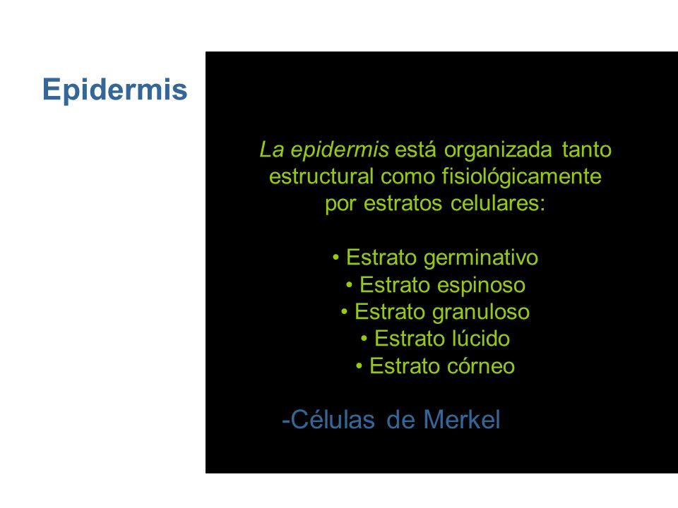 Epidermis Este epitelio estratificado presenta 4 tipos de células: