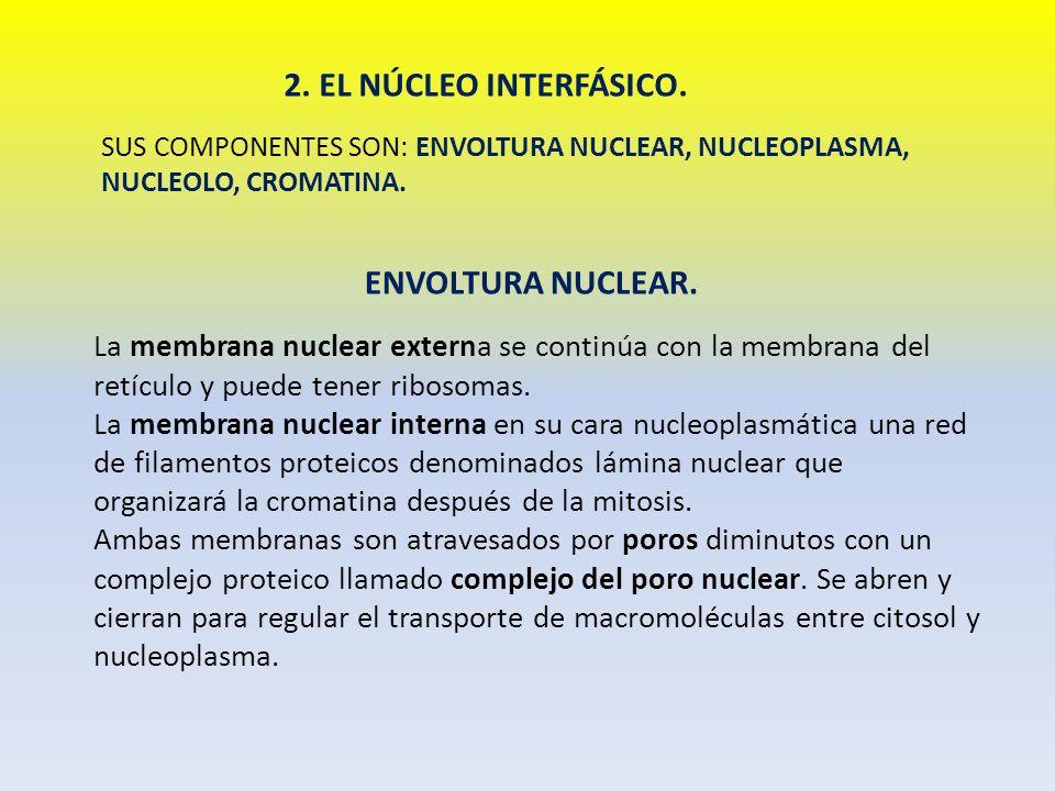 2. EL NÚCLEO INTERFÁSICO. ENVOLTURA NUCLEAR.