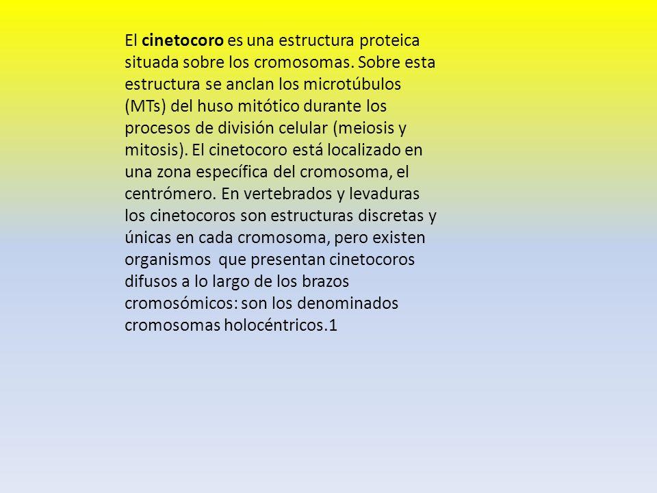 El cinetocoro es una estructura proteica situada sobre los cromosomas