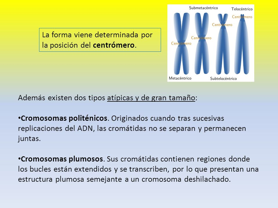 La forma viene determinada por la posición del centrómero.