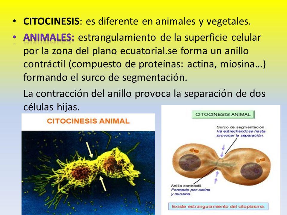 CITOCINESIS: es diferente en animales y vegetales.