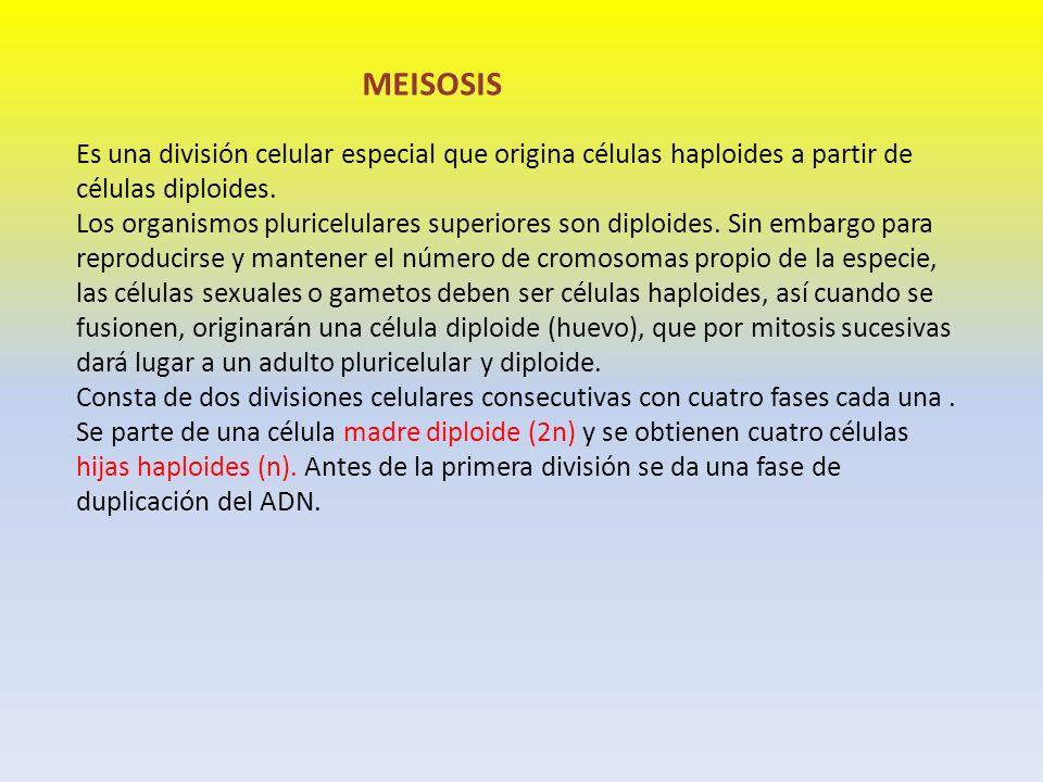 MEISOSIS Es una división celular especial que origina células haploides a partir de células diploides.