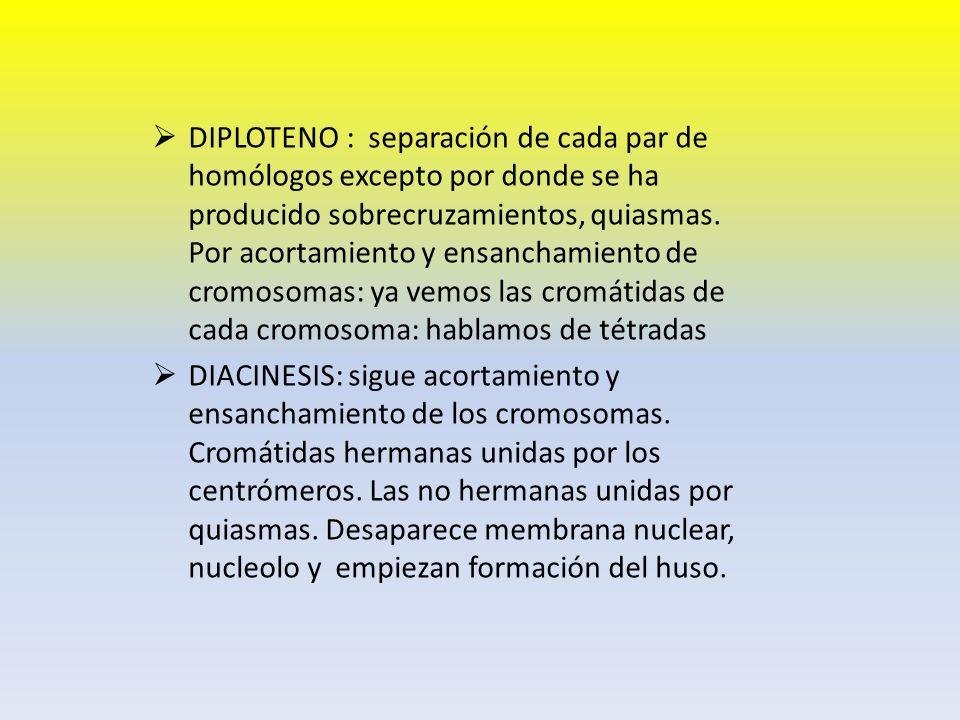DIPLOTENO : separación de cada par de homólogos excepto por donde se ha producido sobrecruzamientos, quiasmas. Por acortamiento y ensanchamiento de cromosomas: ya vemos las cromátidas de cada cromosoma: hablamos de tétradas