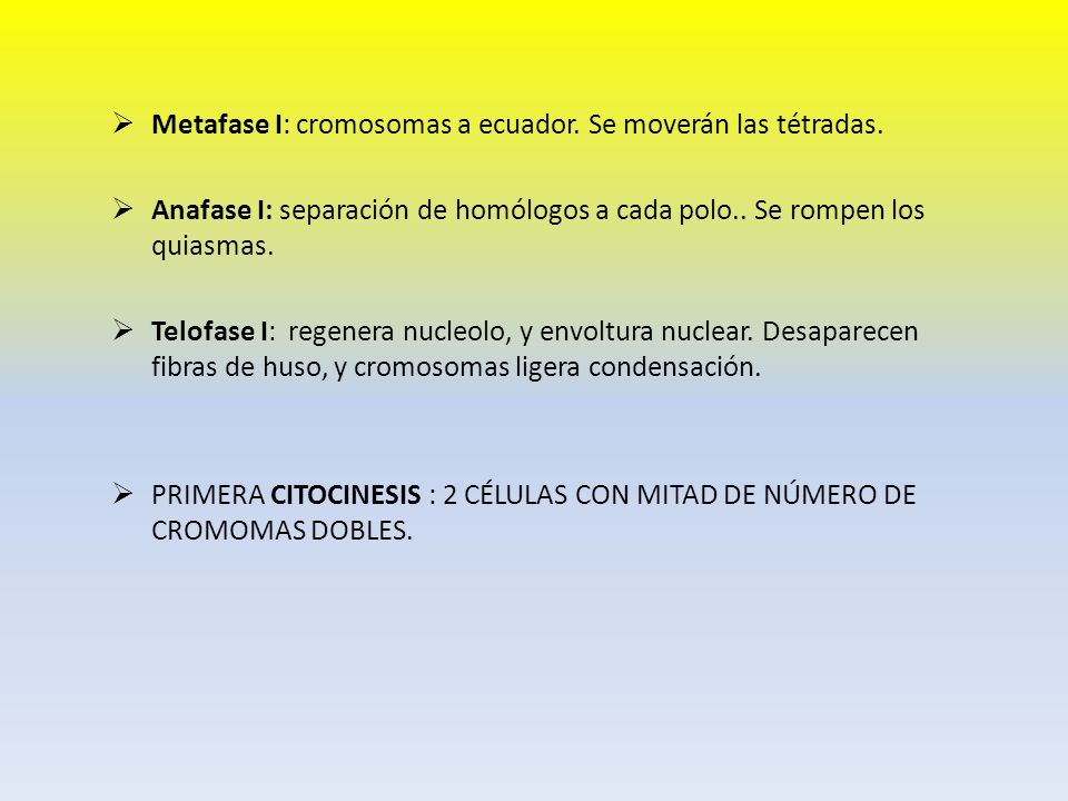Metafase I: cromosomas a ecuador. Se moverán las tétradas.