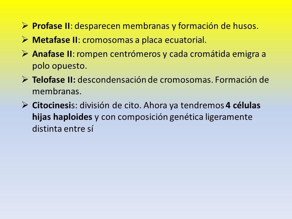 Profase II: desparecen membranas y formación de husos.