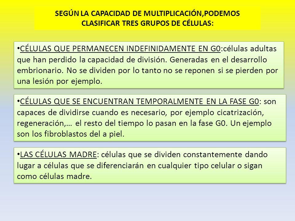 SEGÚN LA CAPACIDAD DE MULTIPLICACIÓN,PODEMOS CLASIFICAR TRES GRUPOS DE CÉLULAS: