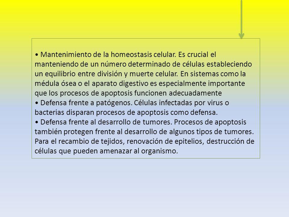 • Mantenimiento de la homeostasis celular