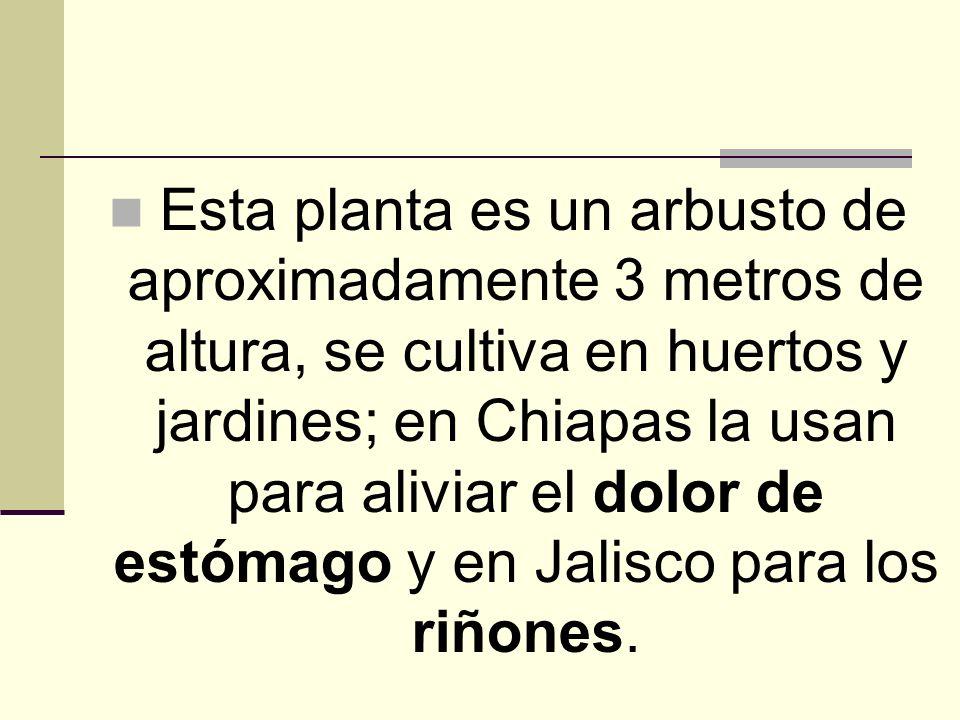 Esta planta es un arbusto de aproximadamente 3 metros de altura, se cultiva en huertos y jardines; en Chiapas la usan para aliviar el dolor de estómago y en Jalisco para los riñones.