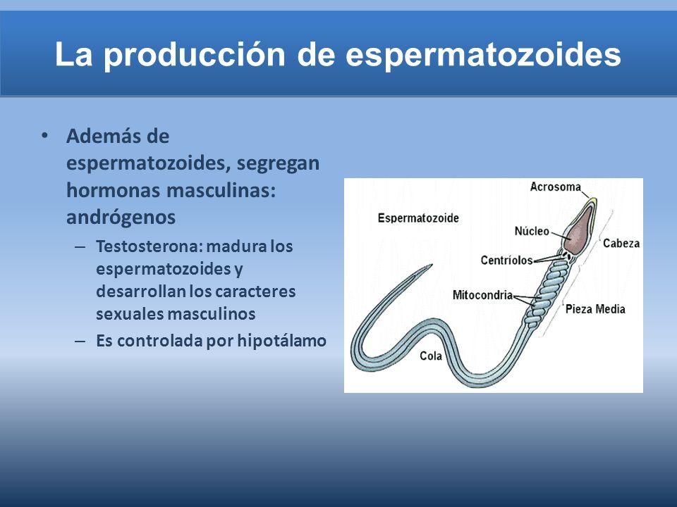 La producción de espermatozoides
