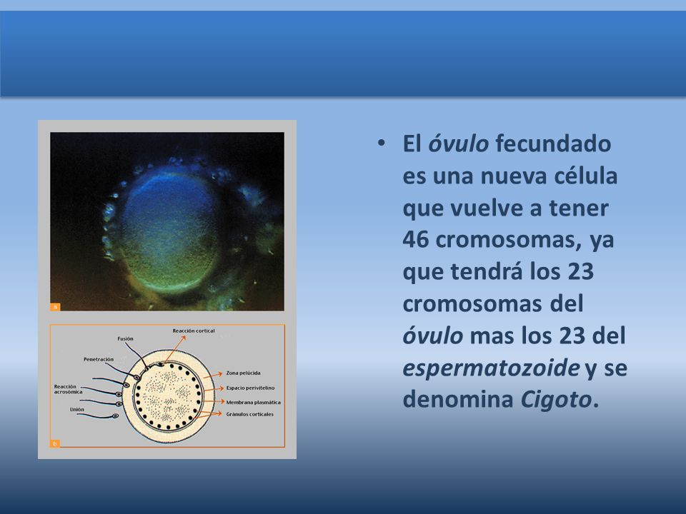 El óvulo fecundado es una nueva célula que vuelve a tener 46 cromosomas, ya que tendrá los 23 cromosomas del óvulo mas los 23 del espermatozoide y se denomina Cigoto.