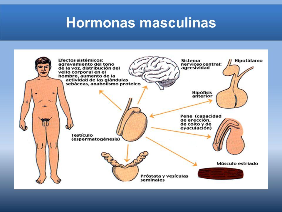 Hormonas masculinas