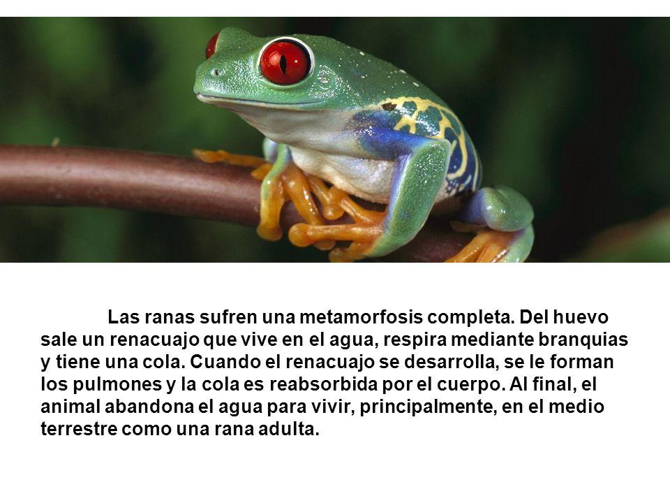 Las ranas sufren una metamorfosis completa