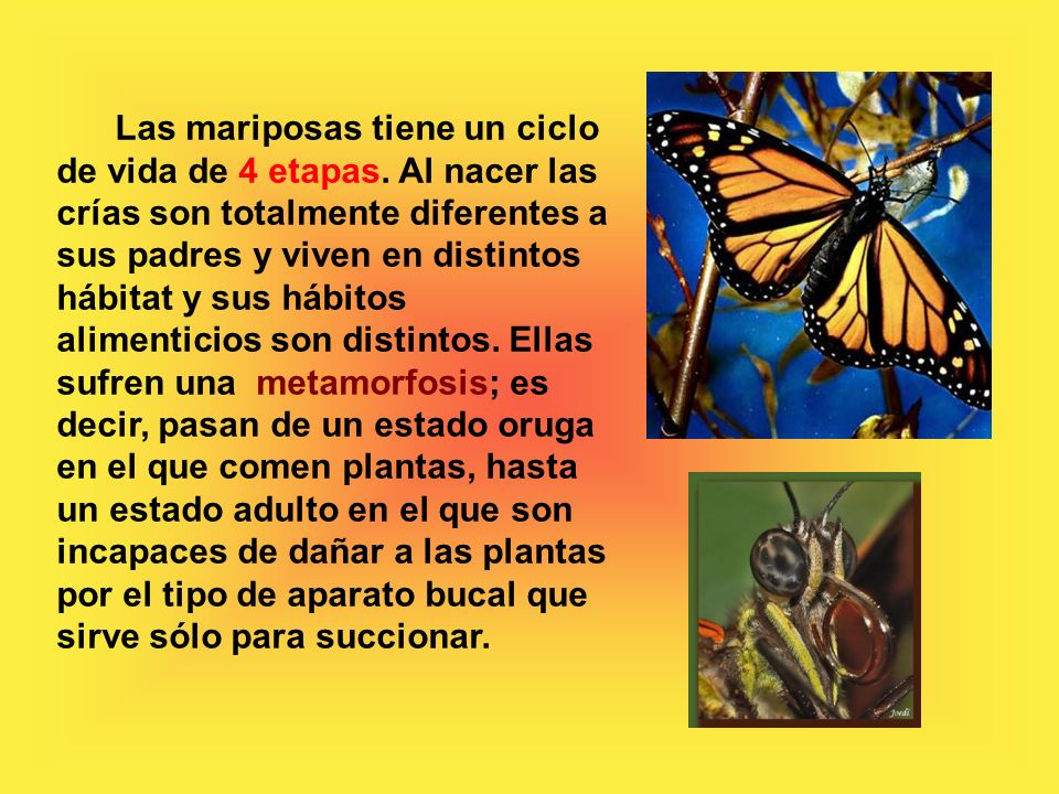 Las mariposas tiene un ciclo de vida de 4 etapas