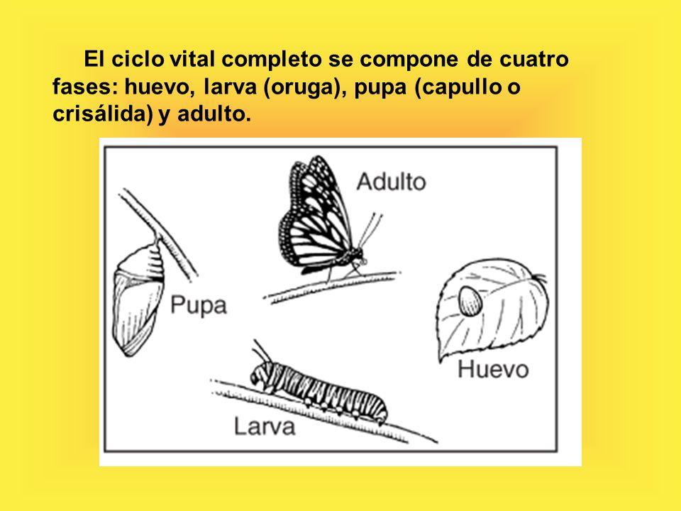 El ciclo vital completo se compone de cuatro fases: huevo, larva (oruga), pupa (capullo o crisálida) y adulto.