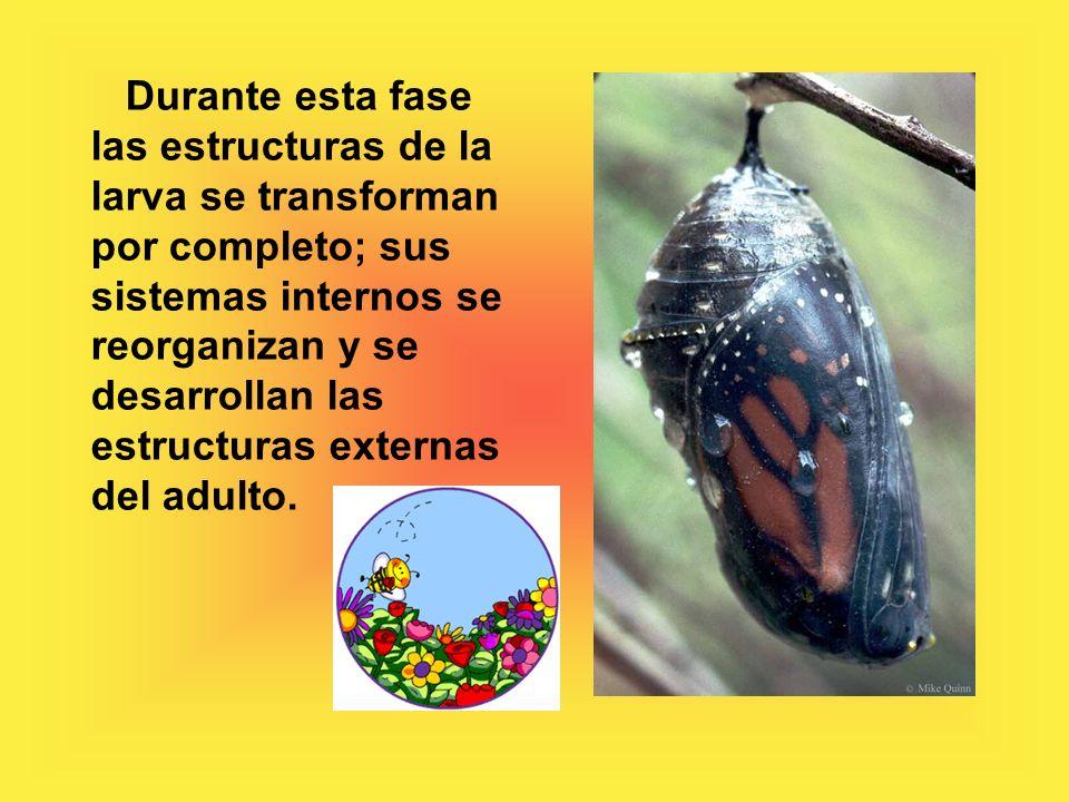 Durante esta fase las estructuras de la larva se transforman por completo; sus sistemas internos se reorganizan y se desarrollan las estructuras externas del adulto.