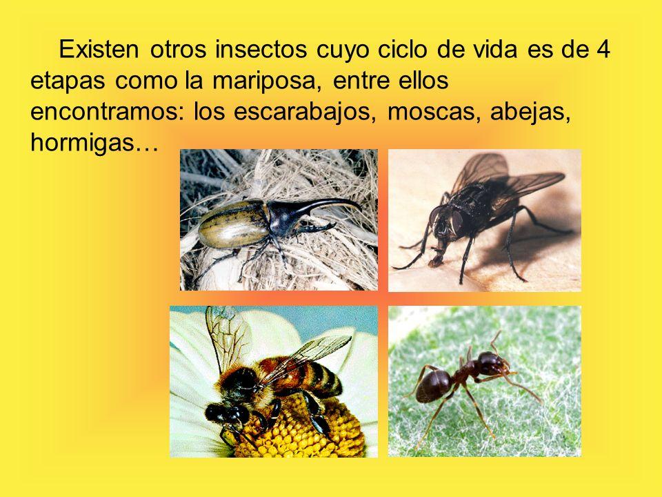 Existen otros insectos cuyo ciclo de vida es de 4 etapas como la mariposa, entre ellos encontramos: los escarabajos, moscas, abejas, hormigas…