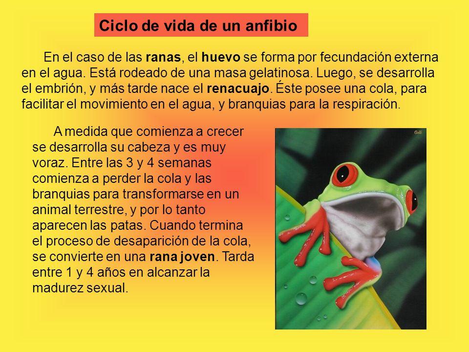 Ciclo de vida de un anfibio