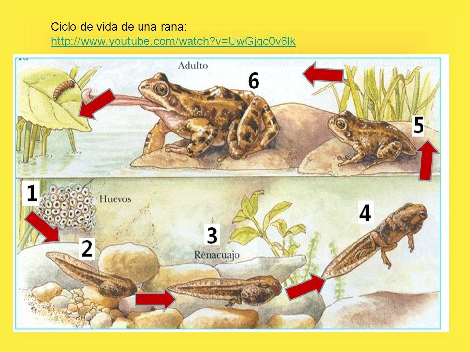 Ciclo de vida de una rana: http://www.youtube.com/watch v=UwGjqc0v6lk