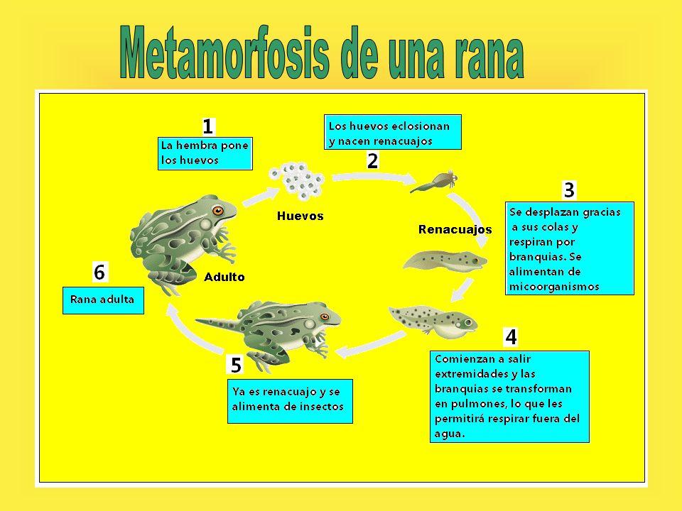 Metamorfosis de una rana