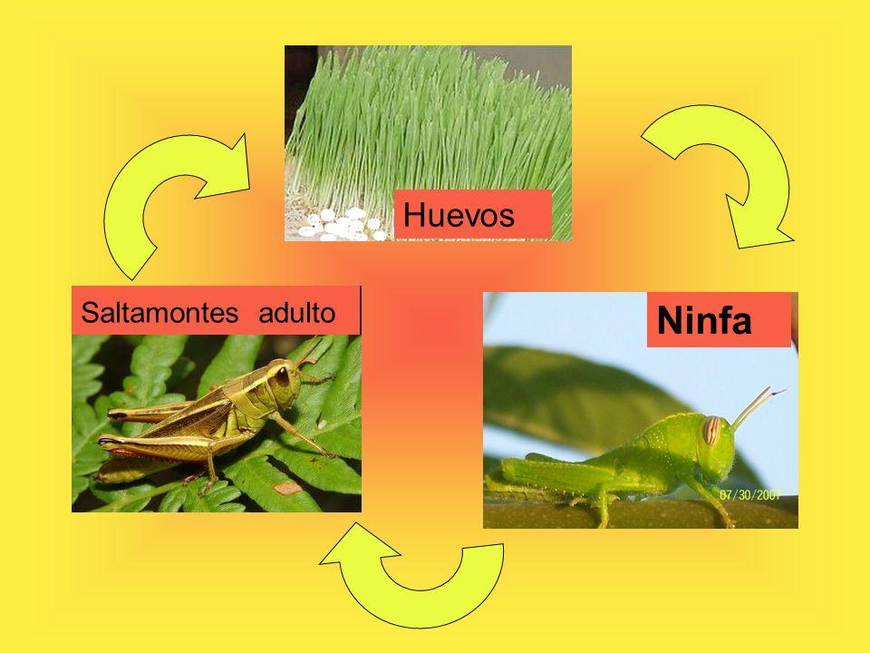 Huevos Saltamontes adulto Ninfa