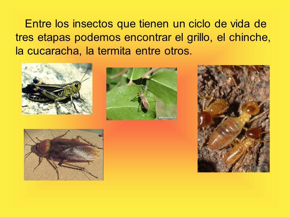 Entre los insectos que tienen un ciclo de vida de tres etapas podemos encontrar el grillo, el chinche, la cucaracha, la termita entre otros.