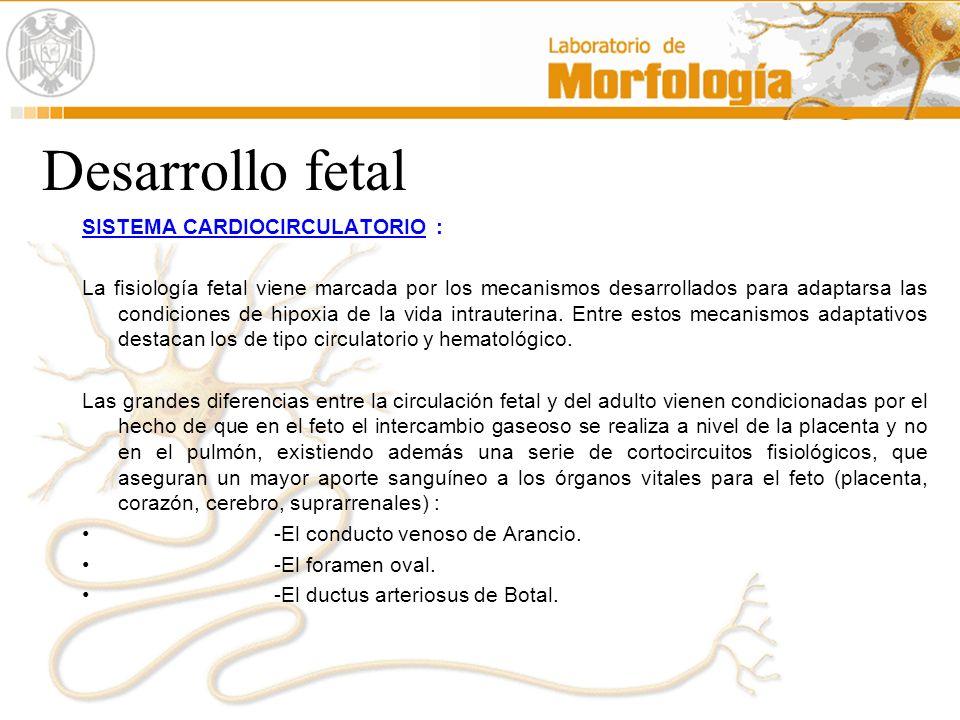 Desarrollo fetal SISTEMA CARDIOCIRCULATORIO :