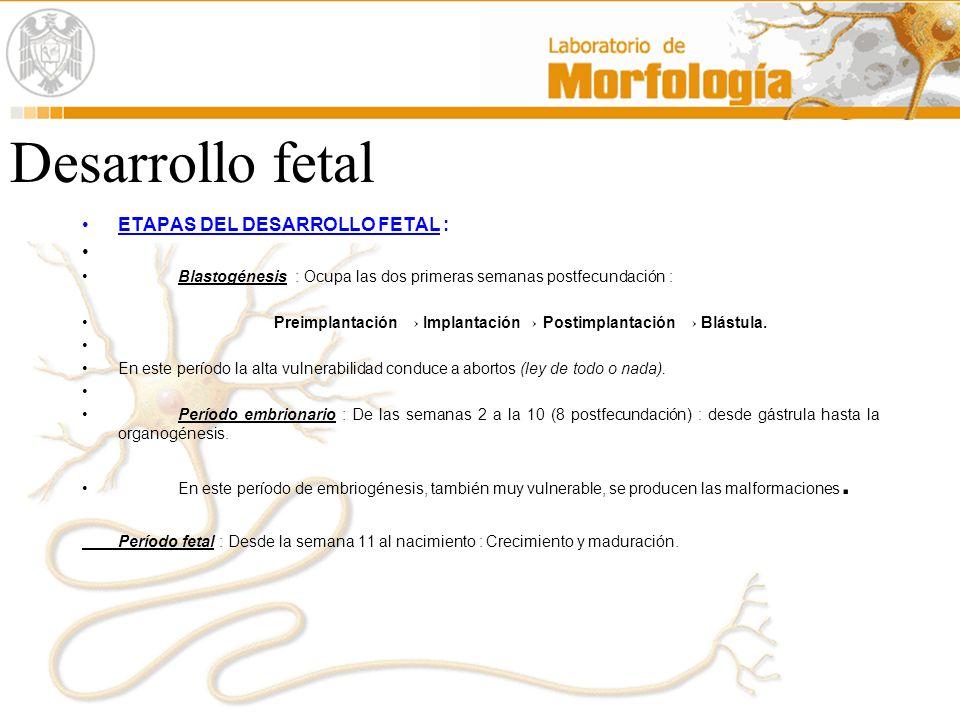 Desarrollo fetal ETAPAS DEL DESARROLLO FETAL :
