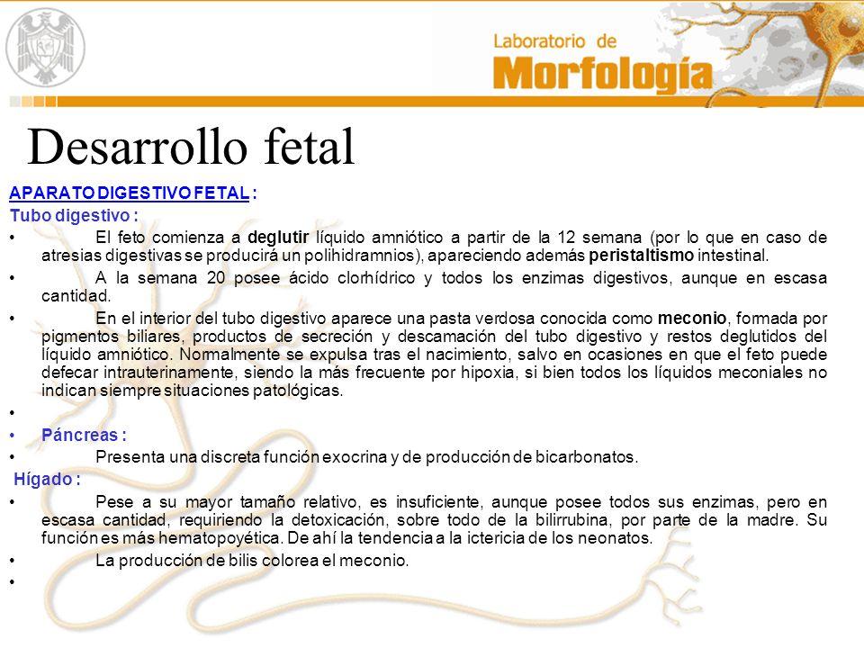Desarrollo fetal APARATO DIGESTIVO FETAL : Tubo digestivo :
