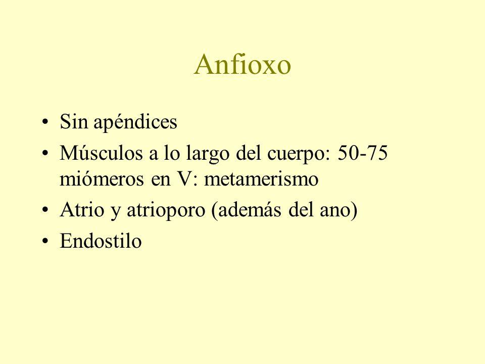 AnfioxoSin apéndices. Músculos a lo largo del cuerpo: 50-75 miómeros en V: metamerismo. Atrio y atrioporo (además del ano)