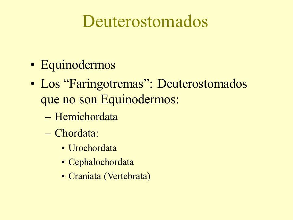 Deuterostomados Equinodermos