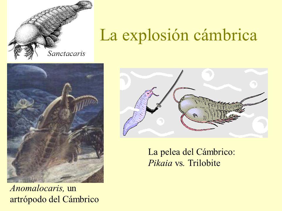 La explosión cámbrica La pelea del Cámbrico: Pikaia vs. Trilobite