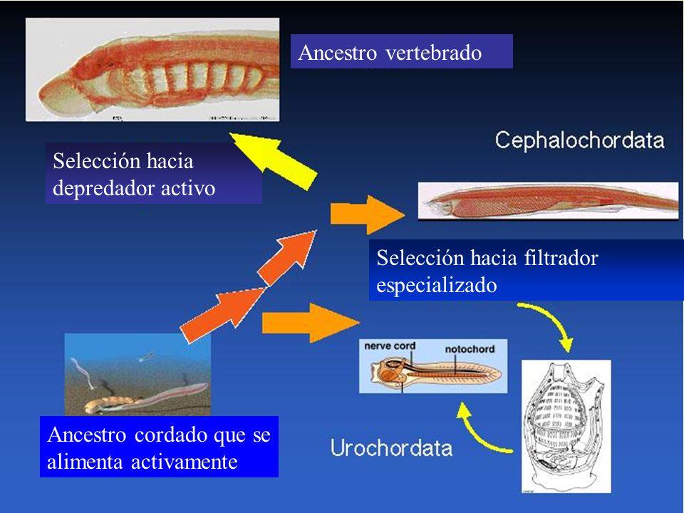 Ancestro vertebrado Selección hacia. depredador activo. Selección hacia filtrador. especializado.