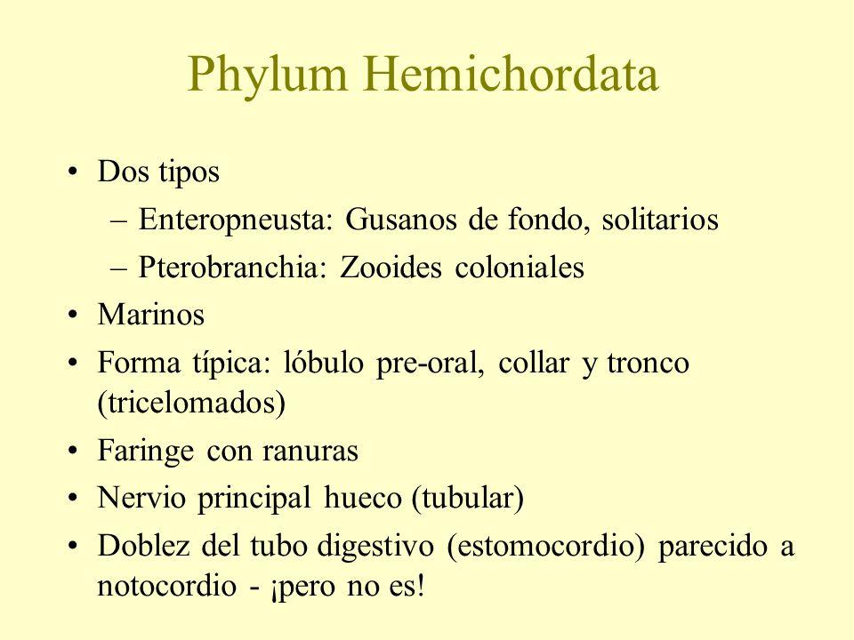 Phylum Hemichordata Dos tipos