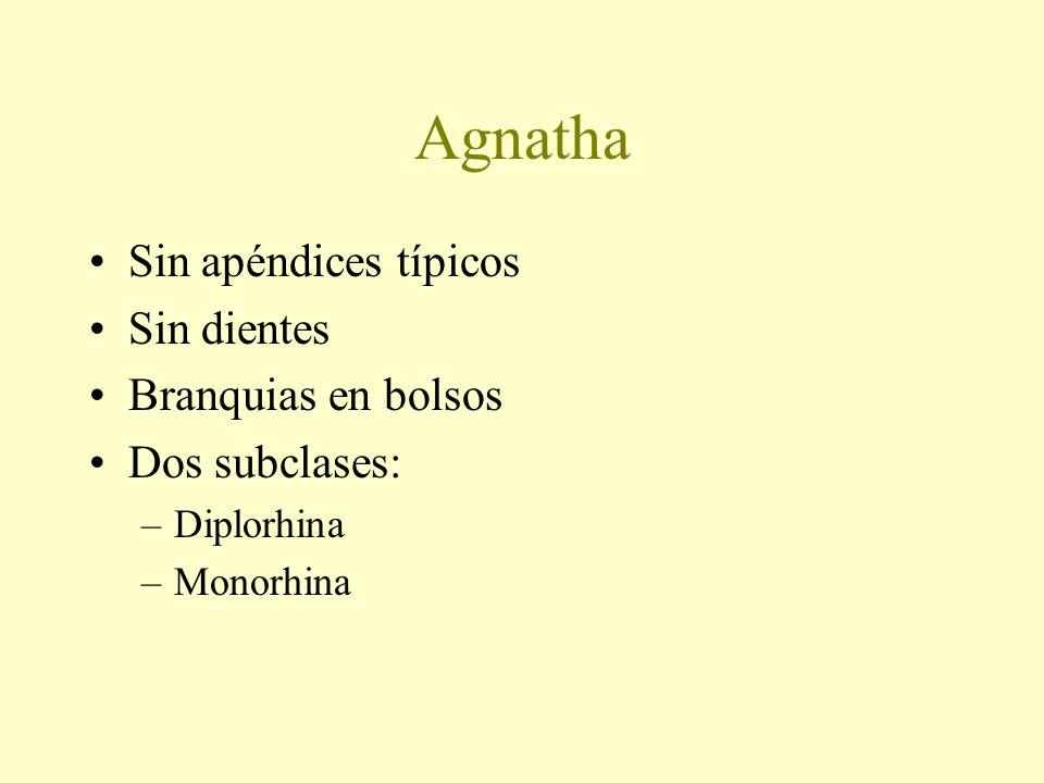 Agnatha Sin apéndices típicos Sin dientes Branquias en bolsos