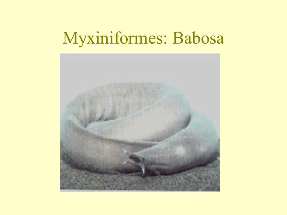 Myxiniformes: Babosa