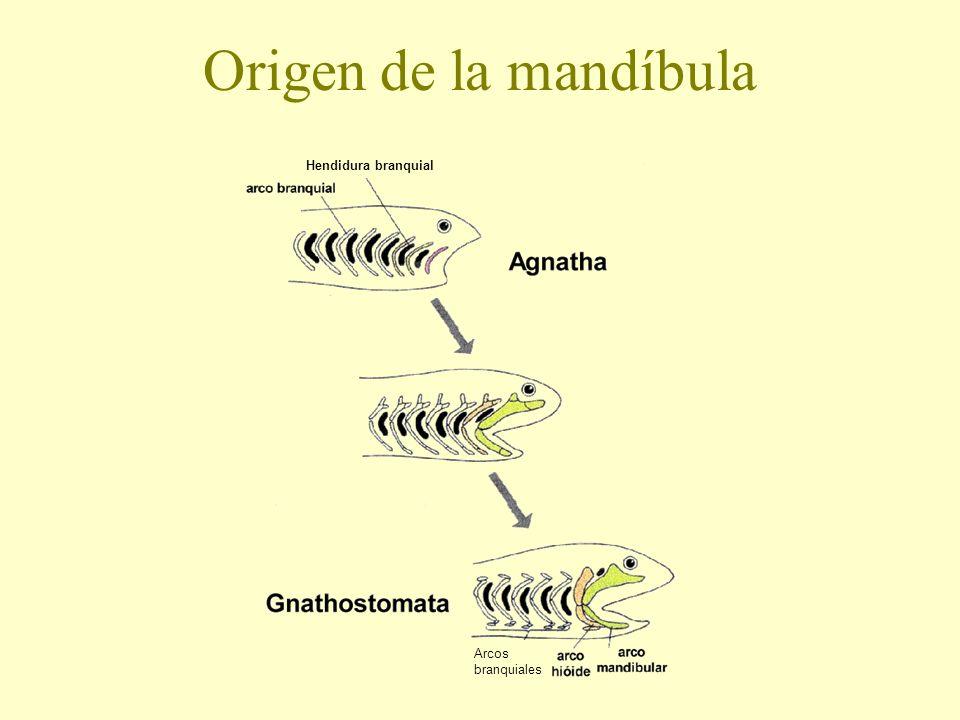Origen de la mandíbula Hendidura branquial Arcos branquiales